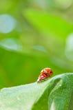 Primo piano amoroso dei ladybugs Fotografie Stock Libere da Diritti