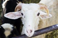 Primo piano anteriore delle pecore bianche nel riparo immagine stock