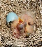 Primo piano appena di Robin Chicks covato fotografie stock libere da diritti