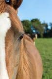 Primo piano arabo della testa di cavallo della castagna fotografia stock libera da diritti