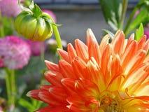 Primo piano arancio del fiore Immagine Stock