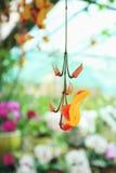 Primo piano arancio del fiore dell'orchidea Immagini Stock