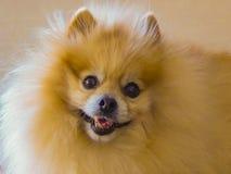 Primo piano arancio del ritratto di Pomeranian fotografie stock