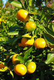 Primo piano dell'arancia del mandarino Fotografia Stock