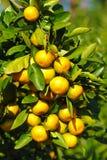 Primo piano dell'arancia del mandarino Fotografie Stock Libere da Diritti