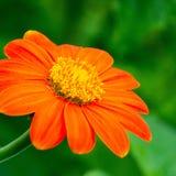 Primo piano arancio e giallo del fiore fotografia stock libera da diritti