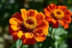 Primo piano arancio e rosso dei fiori Dettagli, petali e stami Bush con le foglie verdi, luce del sole, giorno soleggiato zinnias fotografie stock