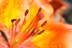 Primo piano arancione del giglio Fotografia Stock Libera da Diritti