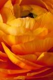 Primo piano arancione della priorità bassa del fiore del Ranunculus Fotografia Stock Libera da Diritti