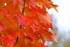 Primo piano ardente delle foglie di acero Immagine Stock Libera da Diritti