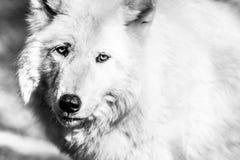 Primo piano artico bianco del lupo, in bianco e nero Fotografie Stock