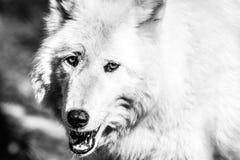 Primo piano artico bianco del lupo, in bianco e nero Fotografia Stock
