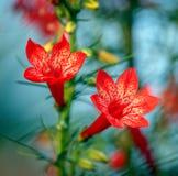 Primo piano artistico di bei fiori e germogli tubolari rossi del rubra diritto di ipomopsis del cipresso fotografia stock