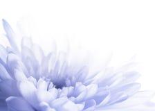 Primo piano astratto del crisantemo Immagini Stock