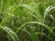 Primo piano bagnato dell'erba Fotografia Stock