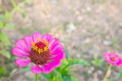 Primo piano in basso lasciato rosa del fiore di zinnia Immagine Stock Libera da Diritti