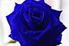 Primo piano bella Rosa blu Immagini Stock