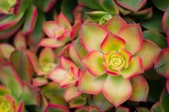 Primo piano bello Kiwi Aeonium verde-rosa in un giardino botanico fotografie stock libere da diritti