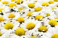 Primo piano bianco dei fiori dei crisantemi Fotografia Stock