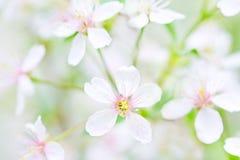 Primo piano bianco dei fiori di ciliegia Fotografia Stock
