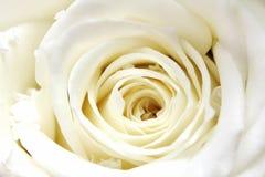 Primo piano bianco dei petali di rosa Fotografie Stock Libere da Diritti