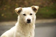 Primo piano bianco del cane Fotografia Stock Libera da Diritti