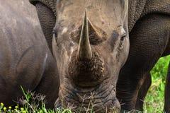 Primo piano bianco del corno di rinoceronte Immagini Stock