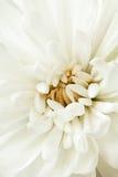 Primo piano bianco del crisantemo Fotografia Stock