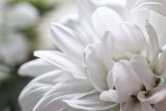 Primo piano bianco del fiore del crisantemo del germoglio fotografia stock libera da diritti