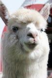 Primo piano bianco del lama Alpaga con gli occhi azzurri Fotografia Stock Libera da Diritti