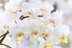 Primo piano bianco del ramo del fiore dell'orchidea Fotografie Stock