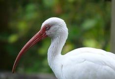 Primo piano bianco dell'adulto dell'uccello dell'ibis Fotografia Stock