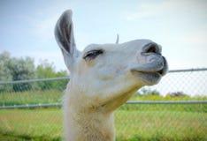 Primo piano bianco dell'animale da allevamento del ritratto dell'alpaga della lama Immagine Stock