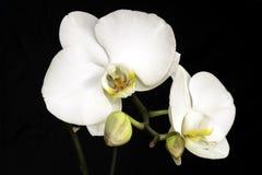 Primo piano bianco dell'orchidea fotografia stock libera da diritti