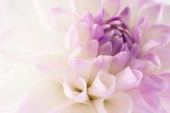 Primo piano bianco della dalia Fotografie Stock