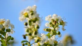 Primo piano bianco della fioritura del mirto di crêpe, scatola di lettera Immagine Stock