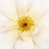 Primo piano bianco della rosa canina Immagini Stock