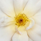 Primo piano bianco della rosa canina Immagine Stock Libera da Diritti