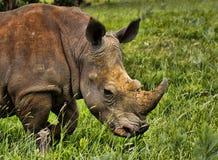 Primo piano bianco di rinoceronte Immagine Stock