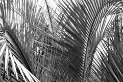 Primo piano in bianco e nero delle fronde della palma fotografia stock