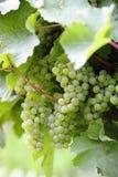 Primo piano bianco maturo dell'uva di Riesling Fotografia Stock