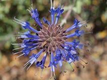 Primo piano blu del fiore Fotografia Stock