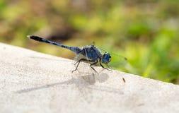 Primo piano blu della libellula Fotografie Stock