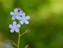 Primo piano blu di macro del fiore del campo Immagini Stock