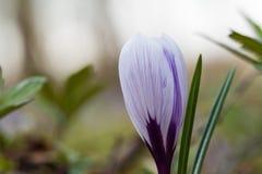 Primo piano bluastro del fiore del croco immagini stock libere da diritti
