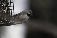 Primo piano boreale del Chickadee immagine stock libera da diritti