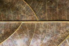Primo piano bronzeo della foglia Foto di macro di struttura della foglia di autunno Modello giallo della vena della foglia Fotografia Stock
