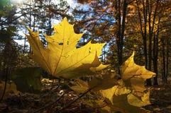 Primo piano caduto della foglia su un fondo di una foresta soleggiata di autunno fotografia stock libera da diritti