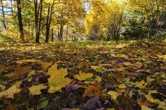 Primo piano caduto delle foglie in una foresta soleggiata di autunno fotografie stock