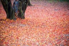 Primo piano caduto rosso delle foglie Fotografia Stock Libera da Diritti